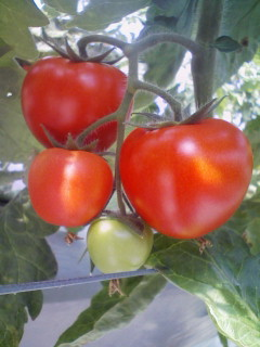 調理用トマト