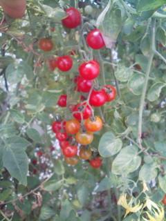 マイクロトマトたち