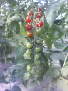 赤いミニトマト