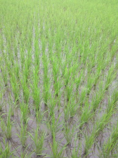 成長中-稲-