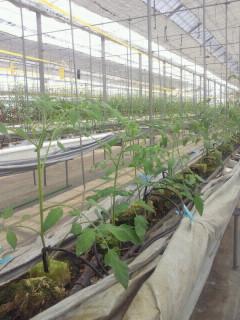 ミニトマトの苗たち
