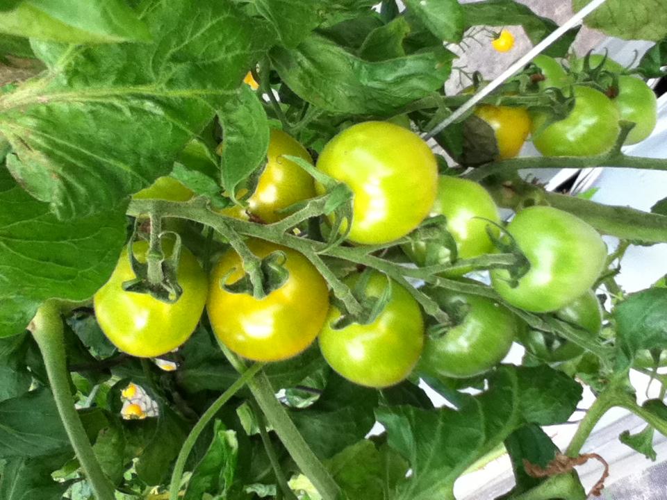 グリーンのトマト