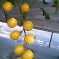 黄色のミニトマト